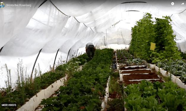 2021-09-02: Israëlische boeren die hun land een jaar rust geven ******* The israeli farmers who are giving their land a year's rest
